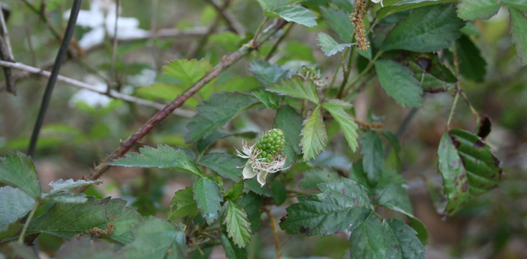 wild-blackberries